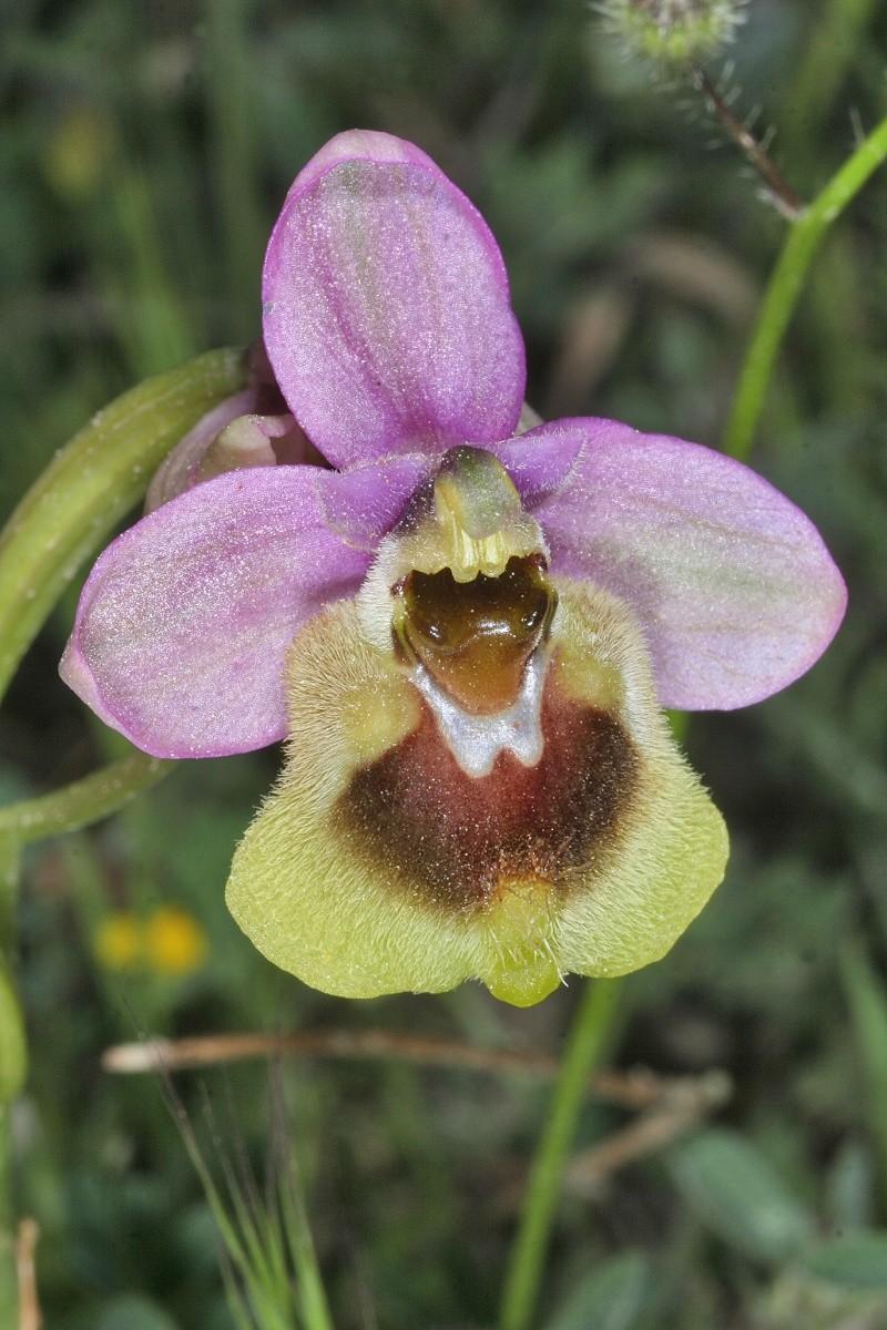 Ophrys tenthredinifera ( Ophrys guêpe ) Ophrys26