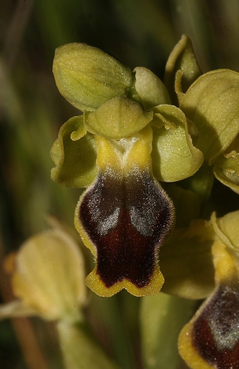 Sicile 2008 Ophrys28