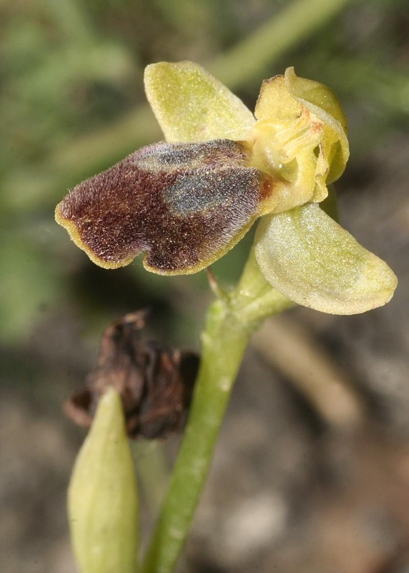 Sicile 2008 Ophrys29