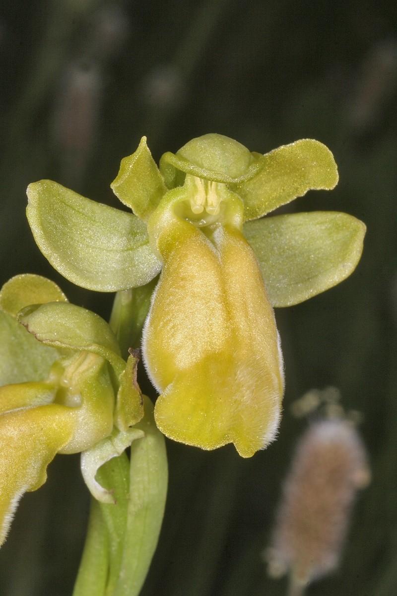 Sicile 2008 Ophrys38