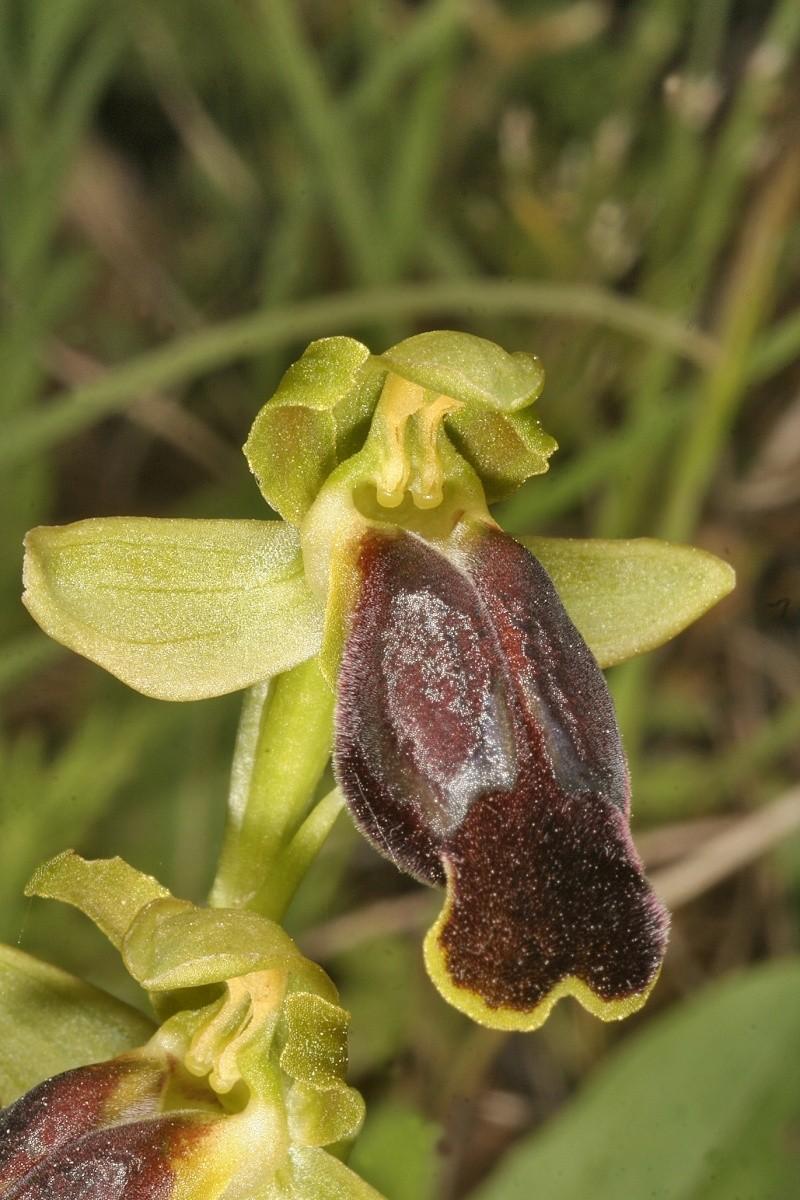 Sicile 2008 Ophrys39