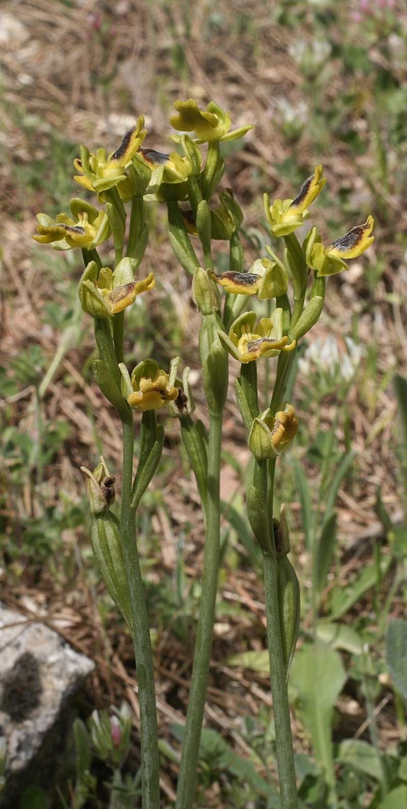 Sicile 2008 Ophrys41