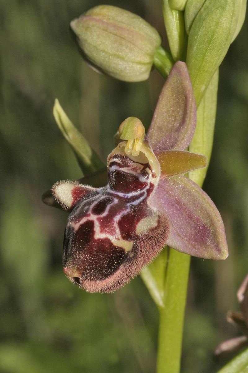 Sicile 2008 Ophrys45