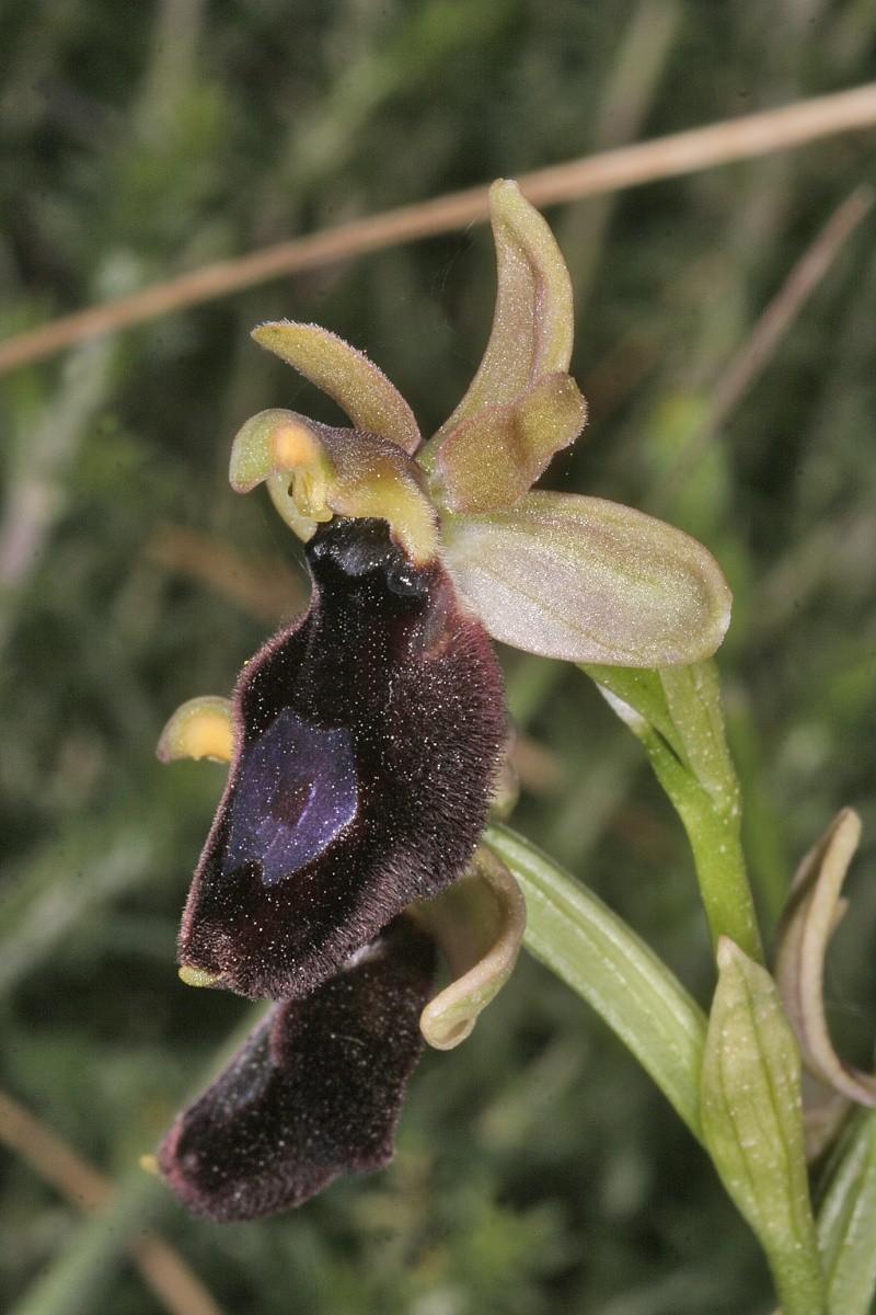 Sicile 2008 Ophrys47