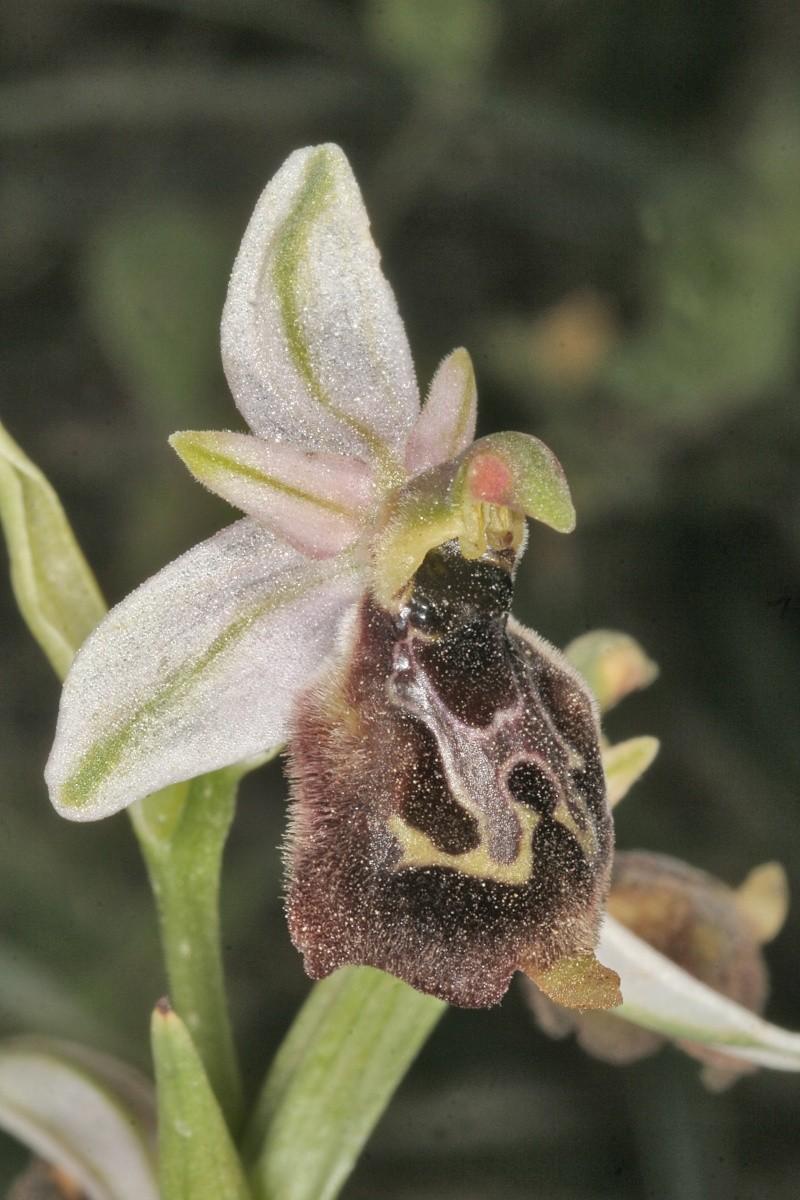 Sicile 2008 Ophrys49