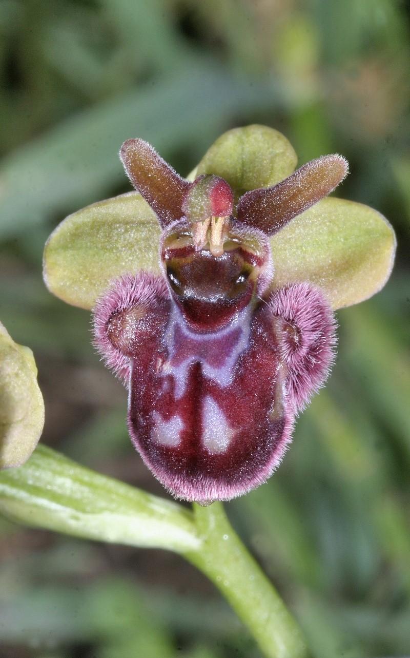 Sicile 2008 Ophrys52