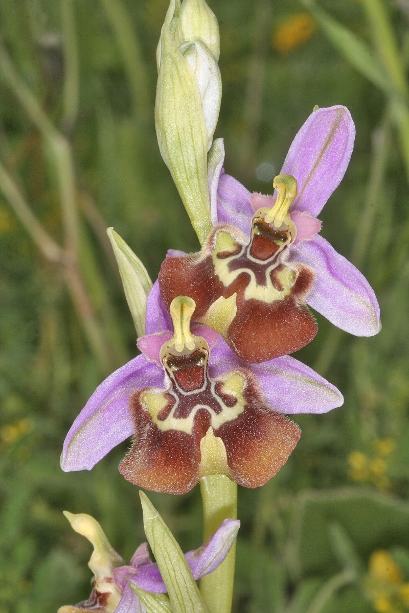 Sicile 2008 Ophrys54