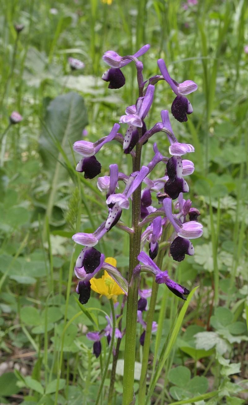 Anacamptis longicornu ( Orchis à long éperon ) Orchis10