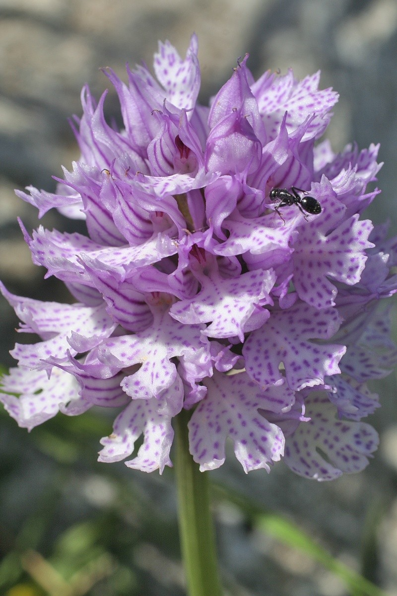 Neotinea tridentata ( Orchis tridenté ) Orchis14