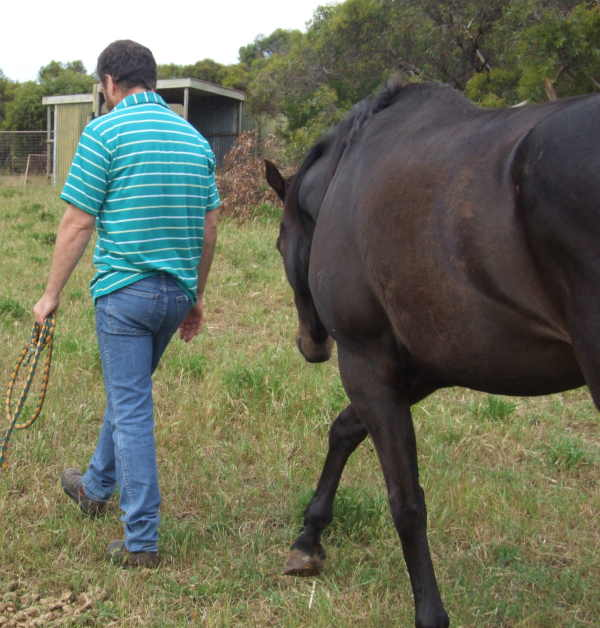 TB Gelding For Sale - $400 - PORT LINCOLN Brodie11