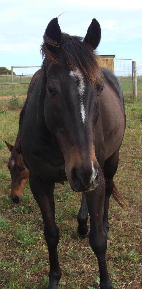 TB Gelding For Sale - $400 - PORT LINCOLN Brodie15