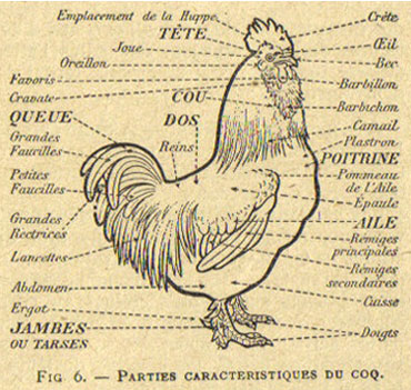 Anatomie Poule la morphologie ( volailles)