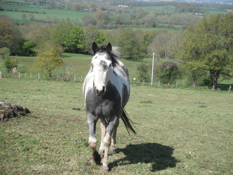 Jument paint horse blue roan overo Dscf1014