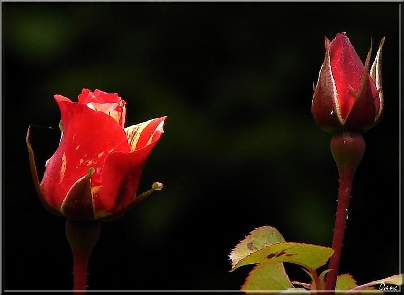 c'est l'automne 1_rose14