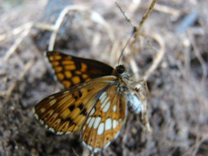 Petit papillon Dsc03223