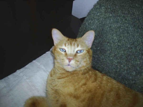 Gato amarillo/naranja perdido en San agustín Tigris11