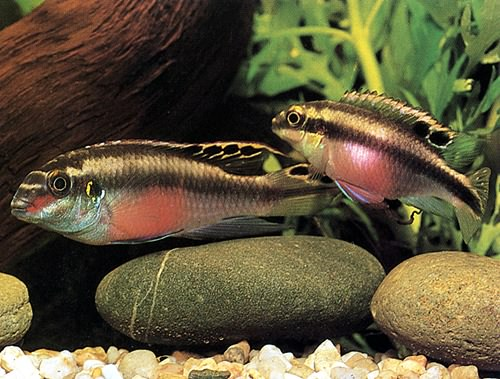 Pelvicachromis Pulcher Pelvic10