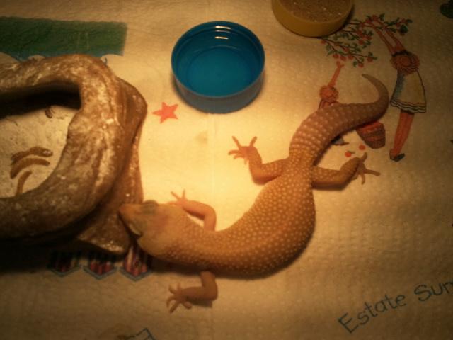 mes geckos 2011-022