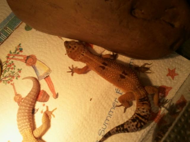 mes geckos 2011-025