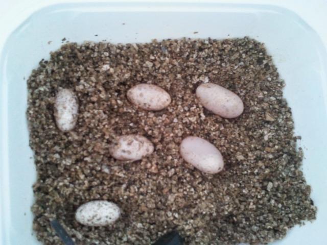 mes geckos 2011-027