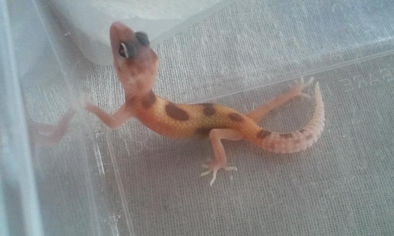 mes geckos 2011-031