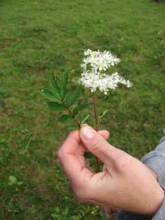 prêle: plante toxique? Img_6615