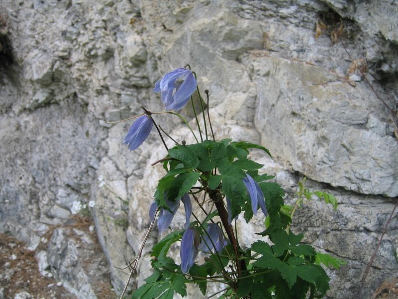 La flore en Haute Tarentaise - Page 2 Phot_067
