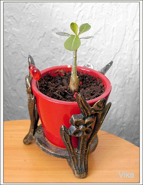 Kaktusi iz semena Dsci0714