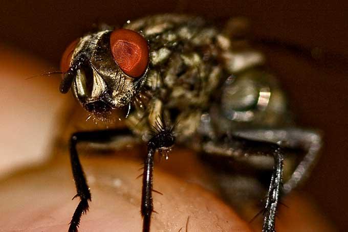 Les mouches me suivent depuis une semaine Mouche11