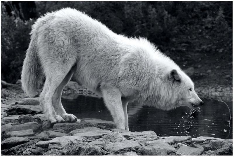 Singart, le Loup Blanc Loup_b10