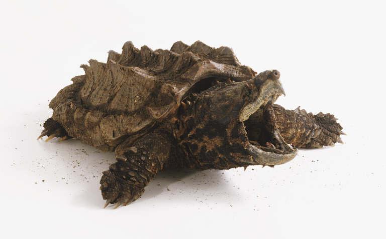Macrochelys temminckii ( tortue alligator) 10018910