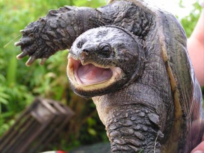 Macrochelys temminckii ( tortue alligator) Chelyd10
