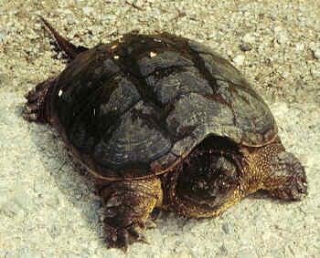 Macrochelys temminckii ( tortue alligator) Cserpe10