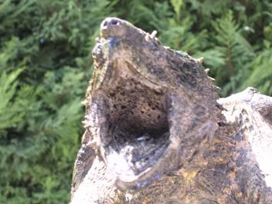 Macrochelys temminckii ( tortue alligator) Macroc10