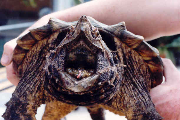 Macrochelys temminckii ( tortue alligator) Macroc11