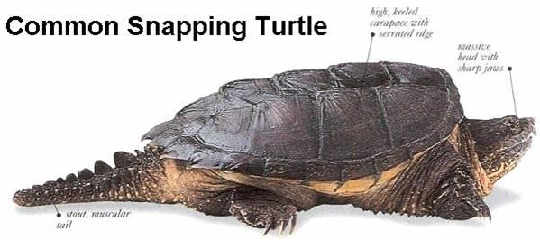 Macrochelys temminckii ( tortue alligator) Snaptu10
