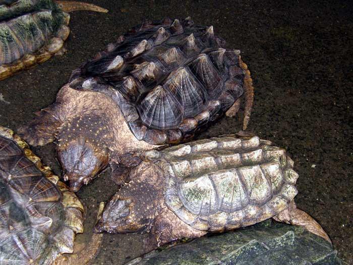 Macrochelys temminckii ( tortue alligator) Tortue10