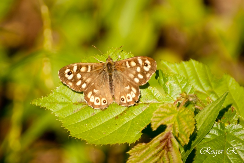 Papillon: Le tircis Dsc01410