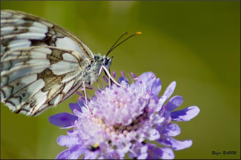 Papillon: Le damier des prés Papill10