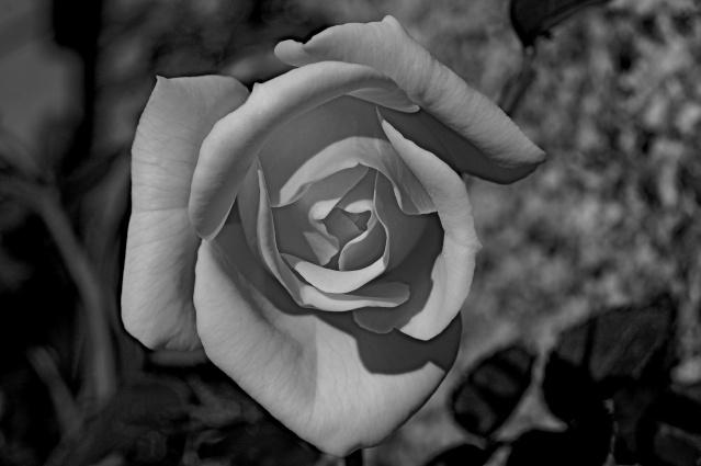 Rose Ma_ros11