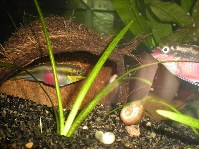 Salvanah : pelvicachromis pulcher - Page 2 Dscn4510
