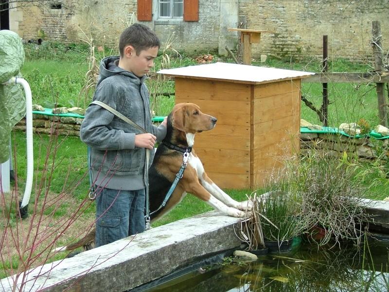 COOPER, croisé beagle/anglo mâle, 2 ans (79) Dscf7811