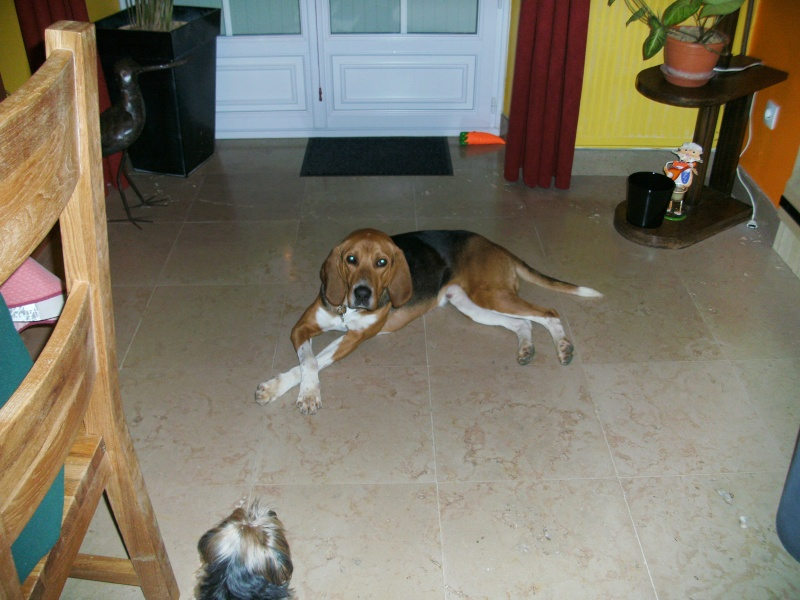 COOPER, croisé beagle/anglo mâle, 2 ans (79) Pict1610