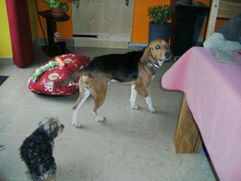 COOPER, croisé beagle/anglo mâle, 2 ans (79) Pict1611