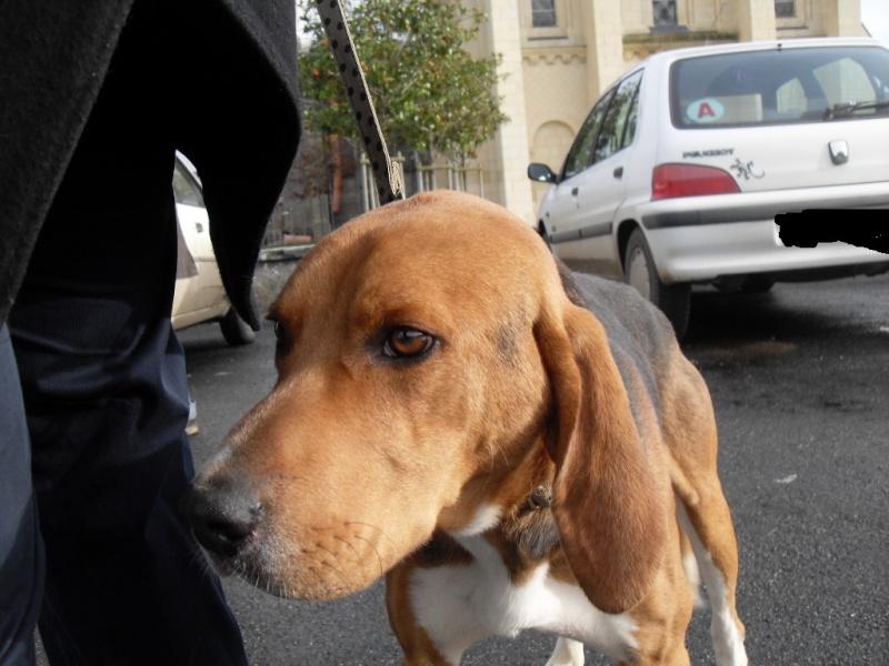COOPER, croisé beagle/anglo mâle, 2 ans (79) Sdc12847