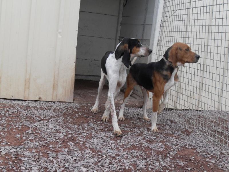 COOPER, croisé beagle/anglo mâle, 2 ans (79) Sdc12848