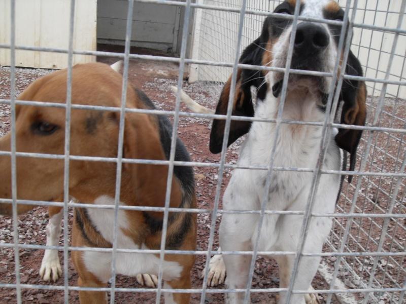 COOPER, croisé beagle/anglo mâle, 2 ans (79) Sdc12849