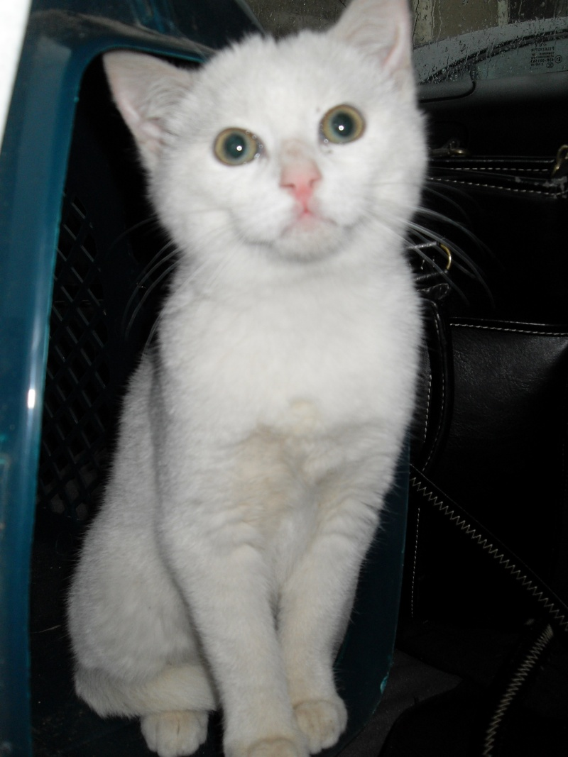 Halma, chatonne de 2 mois environ adoptée  par LAETITIA (85) Sdc12943