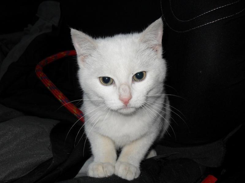 Halma, chatonne de 2 mois environ adoptée  par LAETITIA (85) Sdc12946