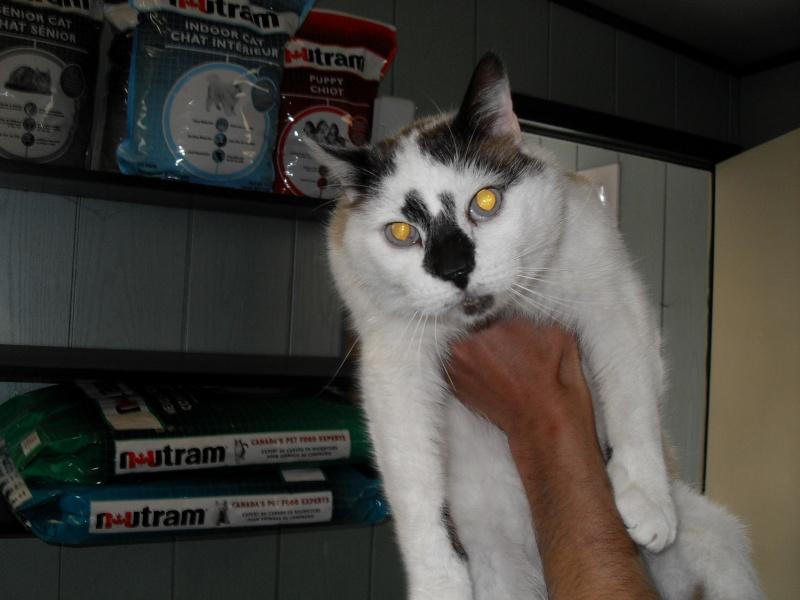 FELIX  CHat male en fourrière né  29/09/2004  adopté par LA CHATAIGNERAIE (37) Sdc13167